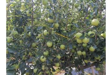 河北青苹果苗的寒潮补救与方法