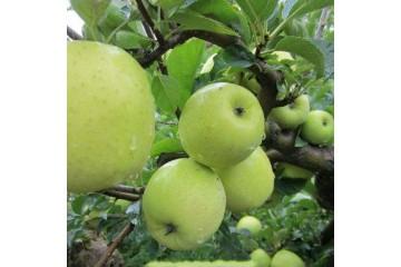 陕西青苹果基地之种植技术
