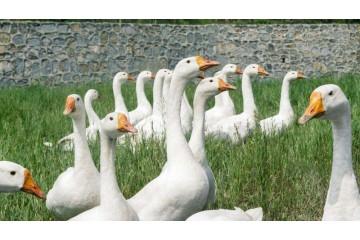 湖南鹅苗之鹅苗育雏期拉稀怎么办