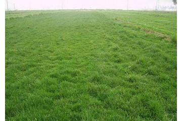 批发价格草皮种植合作社分析草坪养护要点
