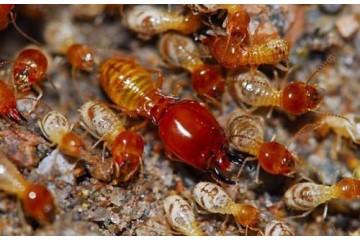 将乐白蚁治理之繁殖型的白蚁分类