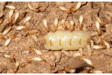 泰宁白蚁防治服务之专业白蚁防治