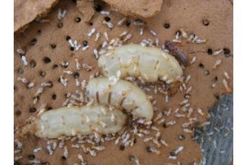 尤溪治白蚁之专业白蚁防制方法