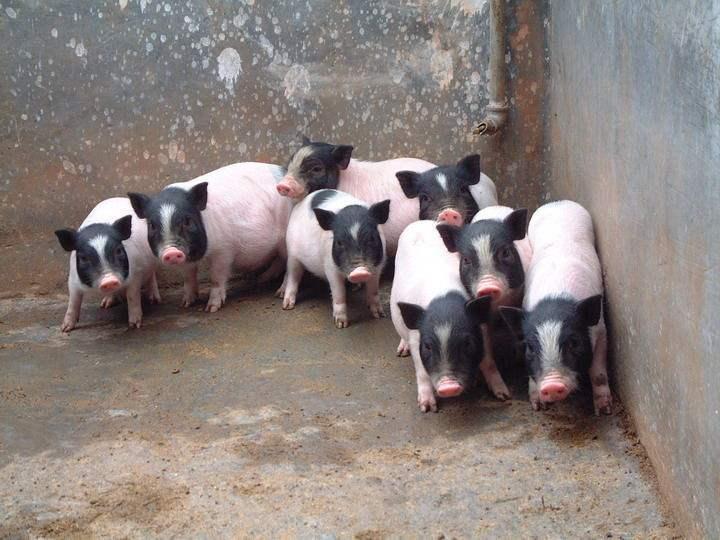 山东香猪苗出售公司讲述保证种公香猪营养和饲料