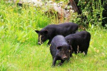 山东黑种猪批发价格分析塑料棚养猪的注意问题