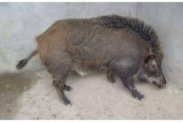山东野猪批发厂家分析养猪的利弊分析