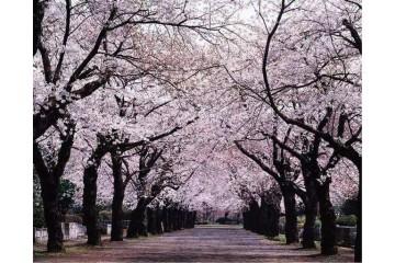 云南15公分樱花基地分析樱花种子催芽