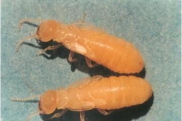 尤溪除白蚁之灭杀白蚁什么方法环保