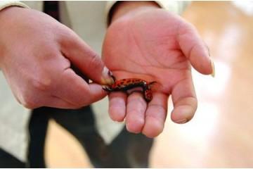 海南2020年娃娃鱼价格之娃娃鱼驯养技术要点