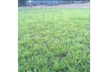 黄冈细叶麦冬草批发基地分析麦冬施肥技术