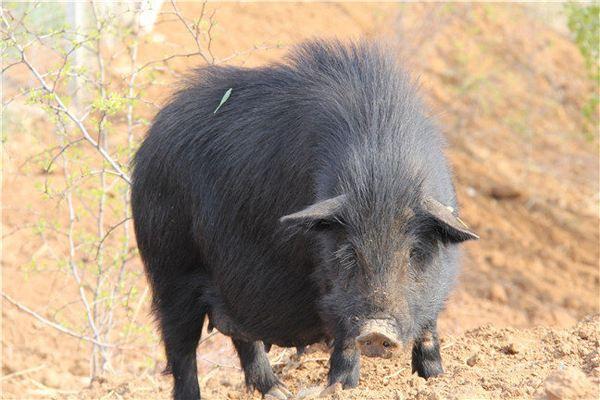 山东黑猪苗采购厂家分析猪场卫生管理