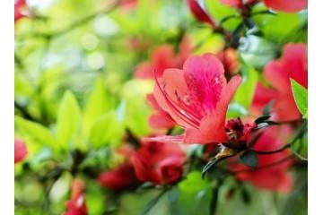邵阳映山红树桩种植分析映山红养护的技巧