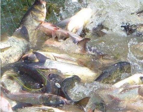 赣州水产养殖分析怎么喂养鱼苗